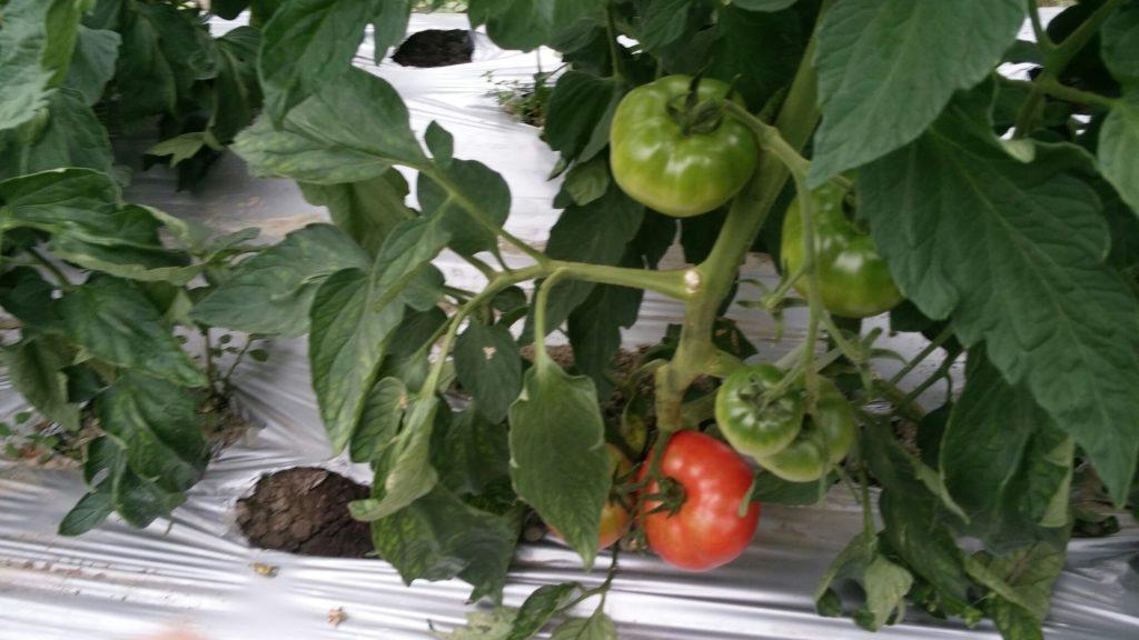 有機栽培 とまと