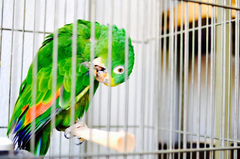 パナマボウシインコ