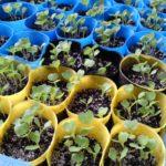 無農薬白菜の苗