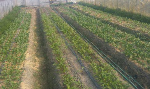 有機栽培サラダミックス