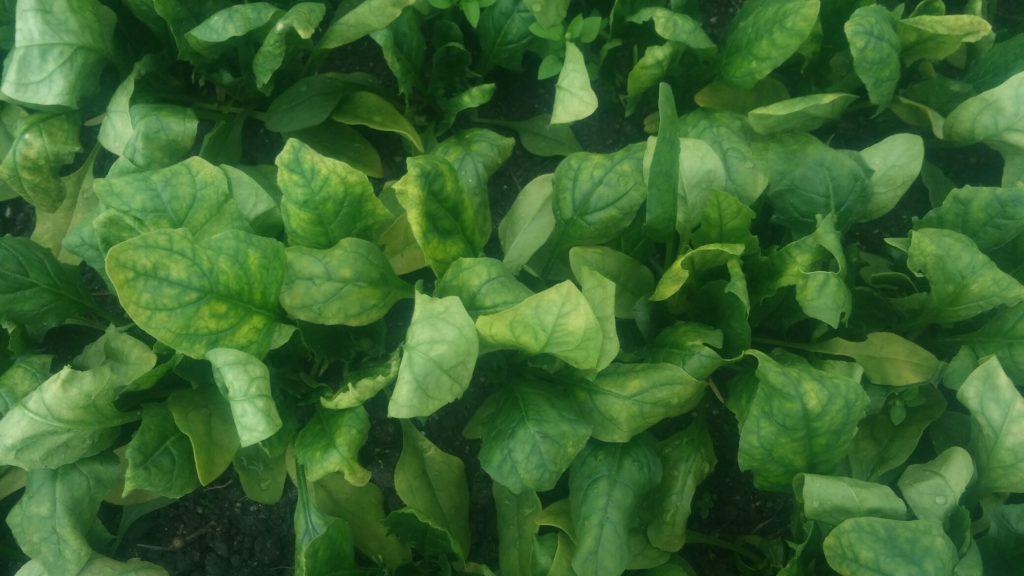 アブラナ科野菜には防虫ネット