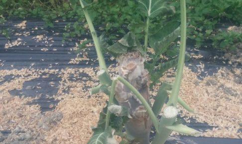 有機栽培スティックブロッコリー
