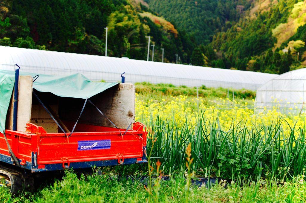 無農薬野菜の菜花