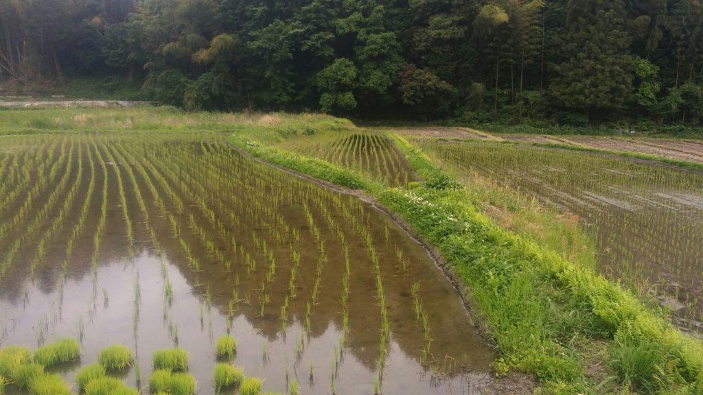 無農薬でお米作り