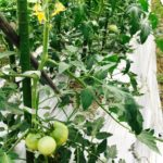無農薬トマト