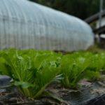 自然栽培の白菜