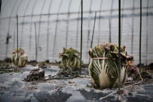 無農薬の白菜と畑