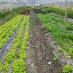 無農薬栽培レタス