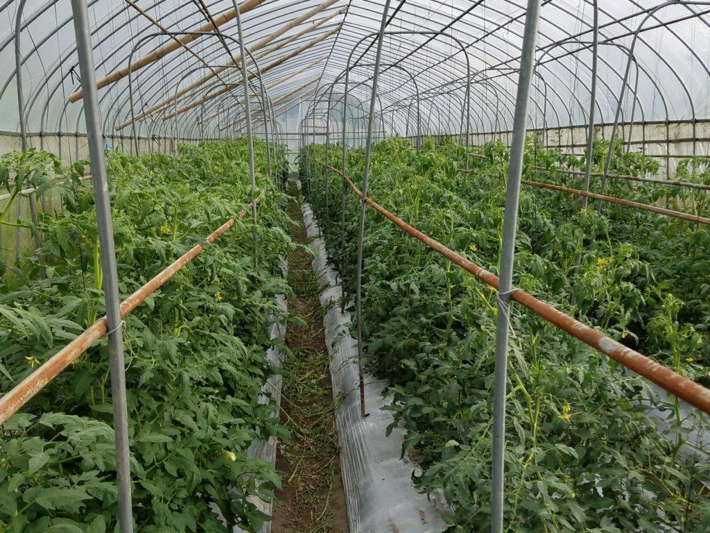 無農薬トマト 紐誘引