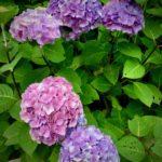 オーガニック 紫陽花