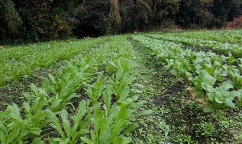 有機栽培壬生菜