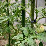 まだ青い有機トマト