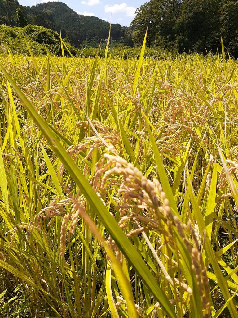 自然米 稲刈り 2019