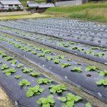 無農薬の白菜とブロッコリー